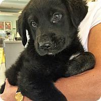 Adopt A Pet :: Gus - BIRMINGHAM, AL