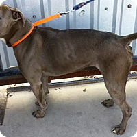 Pit Bull Terrier Dog for adoption in Phoenix, Arizona - Coffee