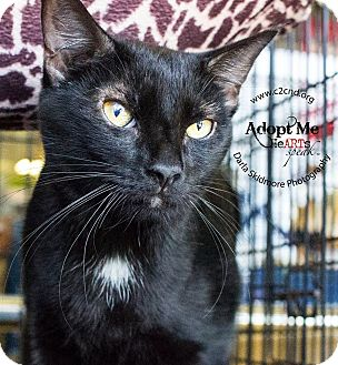 Domestic Shorthair Cat for adoption in Mooresville, North Carolina - A..  Reggie