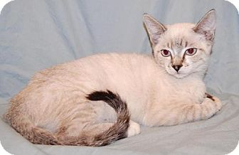 Siamese Kitten for adoption in Fullerton, California - Barbie