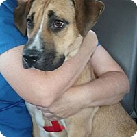 Shepherd (Unknown Type)/Belgian Malinois Mix Dog for adoption in Summerville, South Carolina - Rain