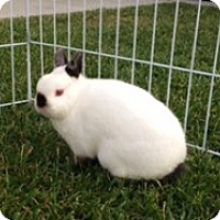 Adopt A Pet :: Mini - Fountain Valley, CA