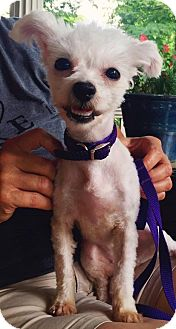 Maltese/Poodle (Miniature) Mix Dog for adoption in Toledo, Ohio - Buttercup