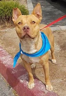 Labrador Retriever Mix Dog for adoption in Las Vegas, Nevada - Coffee