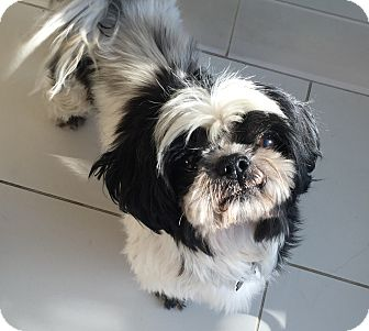 Shih Tzu Mix Dog for adoption in Los Angeles, California - BOBBY