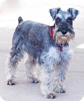 Standard Schnauzer Dog for adoption in San Diego, California - Smoke