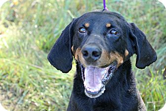 Black and Tan Coonhound Mix Dog for adoption in White Cloud, Michigan - Boone