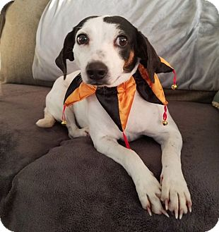 Beagle Mix Dog for adoption in Knoxville, Tennessee - Lacey