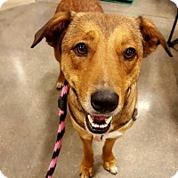 Shepherd (Unknown Type)/Collie Mix Dog for adoption in Irving, Texas - Cedar