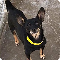 Chihuahua/Dachshund Mix Dog for adoption in Wytheville, Virginia - Gus