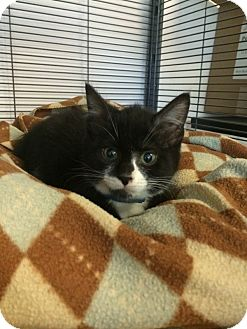 Domestic Shorthair Kitten for adoption in University Park, Illinois - Ted