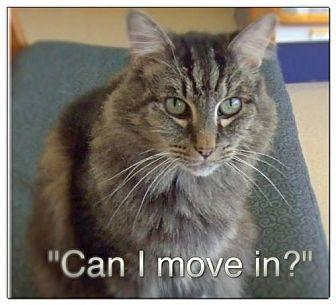 Maine Coon Cat for adoption in Burlington, Washington - Emmett