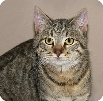 Domestic Shorthair Cat for adoption in Idaho Falls, Idaho - Hannah