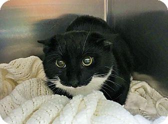 Domestic Shorthair Kitten for adoption in Wayne, New Jersey - Bramwell