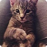 Domestic Shorthair Kitten for adoption in Fairfax, Virginia - Charley and Clark