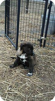 Labrador Retriever Mix Puppy for adoption in Hohenwald, Tennessee - Brownie
