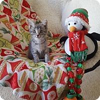 Domestic Shorthair Kitten for adoption in Brandon, Florida - Olivia
