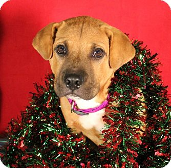 Black Mouth Cur/Chow Chow Mix Puppy for adoption in Carrollton, Texas - SLEEPY