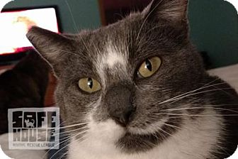 Domestic Shorthair Cat for adoption in Dalzell, Illinois - Cindy
