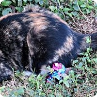 Calico Cat for adoption in Gonzales, Texas - Dalila