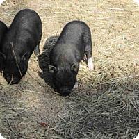 Adopt A Pet :: A184352 - Ocala, FL