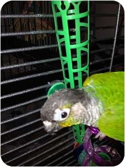 Conure for adoption in Punta Gorda, Florida - Squirt