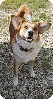 Corgi Mix Dog for adoption in Baton Rouge, Louisiana - Bella