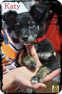 Australian Shepherd/Australian Cattle Dog Mix Puppy for adoption in Rockwall, Texas - Olive