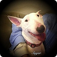 Adopt A Pet :: Sugar - Sachse, TX