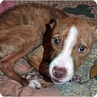 Adopt A Pet :: Bugsy - Scottsdale, AZ