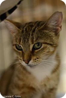 Domestic Shorthair Cat for adoption in New Orleans, Louisiana - Betty Lou