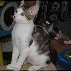 Photo 1 - Domestic Shorthair Cat for adoption in Port Republic, Maryland - Smitty