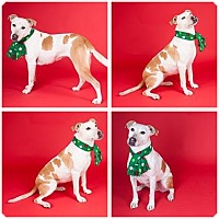 Adopt A Pet :: SHELBY - 30388286 - Petaluma, CA