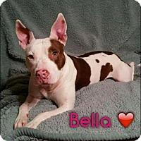 Adopt A Pet :: Bella - Phoenxville, PA