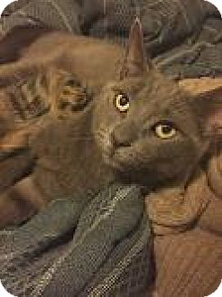 Domestic Shorthair Cat for adoption in New York, New York - Mr. Cocopugs