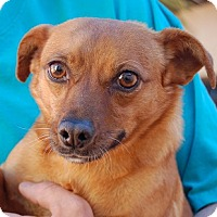 Chihuahua/Dachshund Mix Dog for adoption in Las Vegas, Nevada - Bonnie