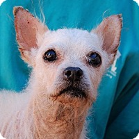 Chihuahua Mix Dog for adoption in Las Vegas, Nevada - Bobby Angel