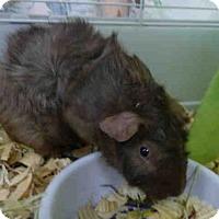 Adopt A Pet :: SIMON - Fort Wayne, IN