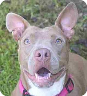 American Staffordshire Terrier Mix Dog for adoption in thibodaux, Louisiana - Esther