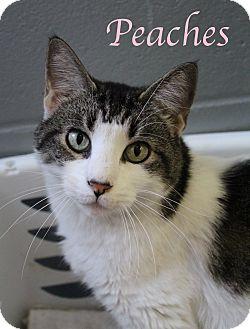 Domestic Shorthair Cat for adoption in Bradenton, Florida - Peaches