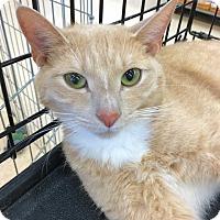 Adopt A Pet :: Simba - Smithtown, NY