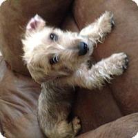 Adopt A Pet :: Beni - Spring, TX