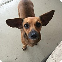 Chihuahua/Dachshund Mix Dog for adoption in Abbeville, Louisiana - Firecracker