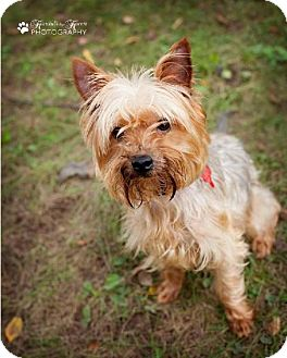 Yorkie, Yorkshire Terrier Mix Dog for adoption in Valparaiso, Indiana - Baxter