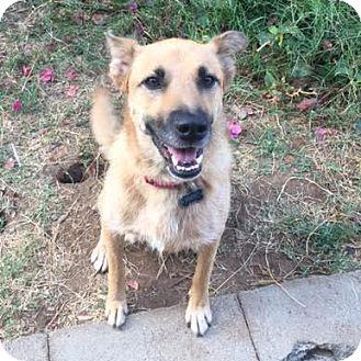 German Shepherd Dog Dog for adoption in San Diego, California - Blondie