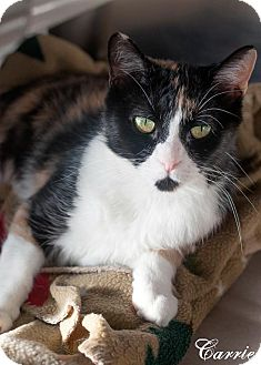 Calico Cat for adoption in Manahawkin, New Jersey - Carrie
