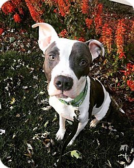 Pit Bull Terrier Mix Dog for adoption in Warrenville, Illinois - Daryl