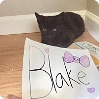 Domestic Shorthair Kitten for adoption in Morgan Hill, California - Blake