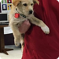 Adopt A Pet :: Ginger - Maple Grove, MN