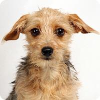 Adopt A Pet :: Iris Yorkie Mix - St. Louis, MO